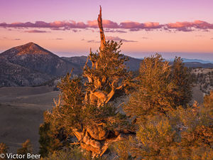 Bristlecone Forest Sunset