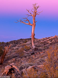 """The General"" Bristlecone Forest"
